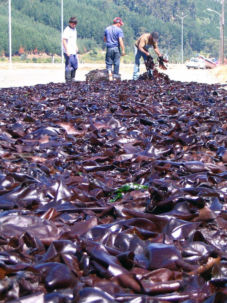 Recolectores de algas marinas